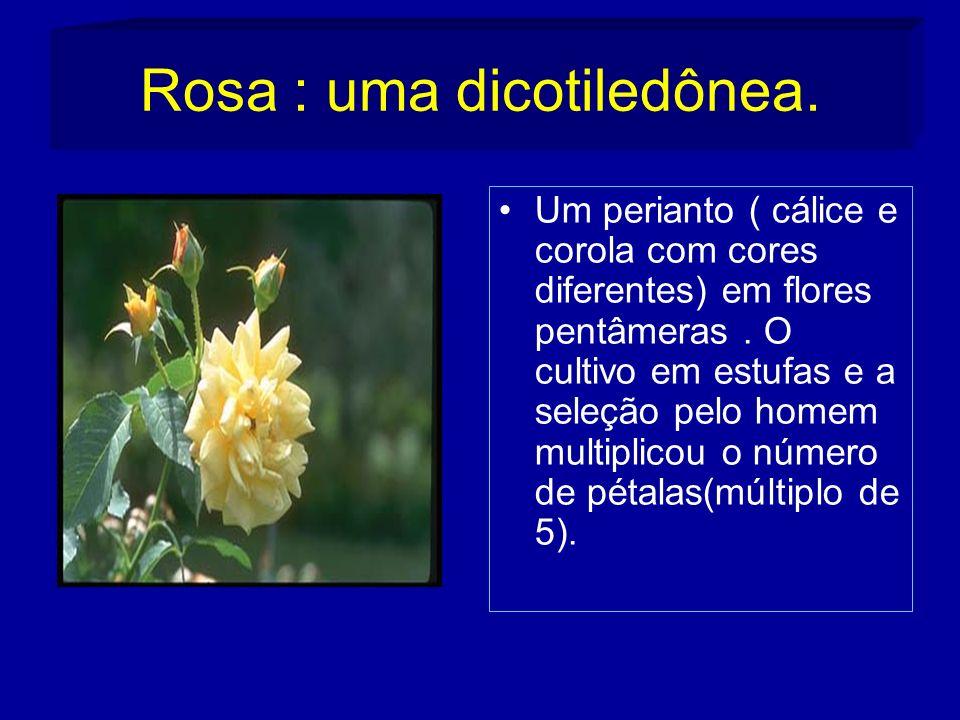 Rosa : uma dicotiledônea.