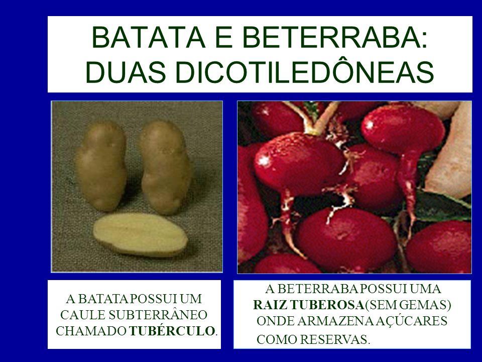 BATATA E BETERRABA: DUAS DICOTILEDÔNEAS