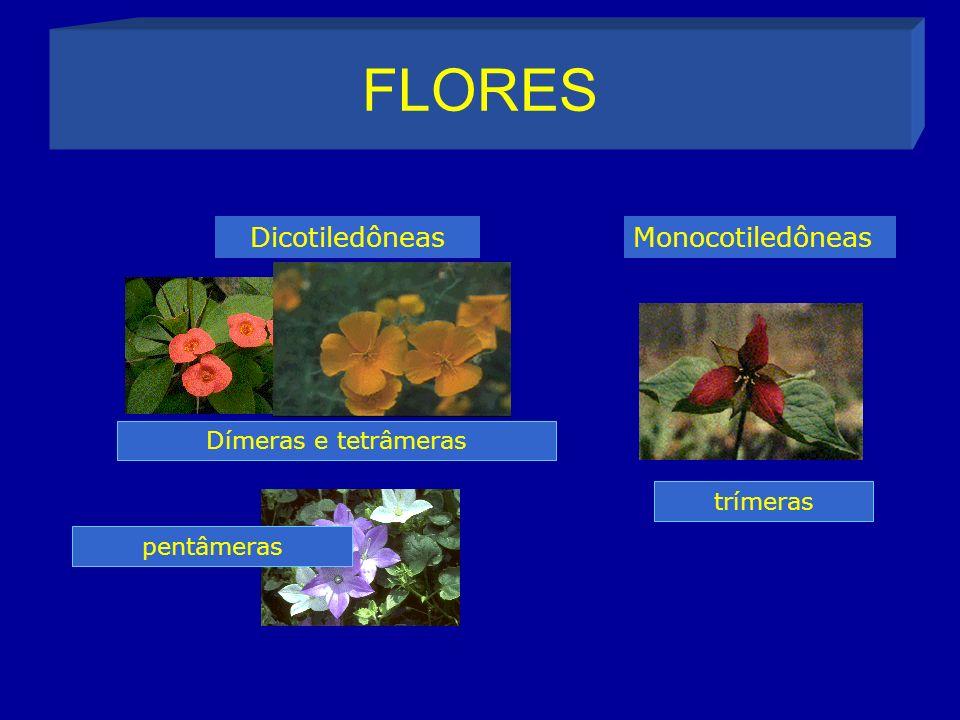 FLORES Dicotiledôneas Monocotiledôneas Dímeras e tetrâmeras trímeras