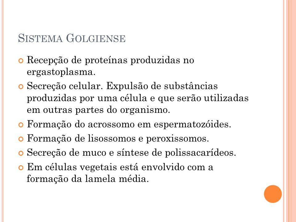 Sistema Golgiense Recepção de proteínas produzidas no ergastoplasma.