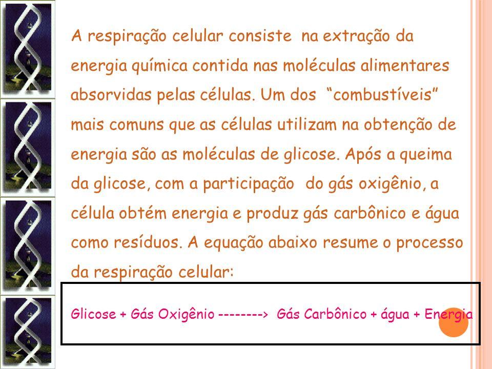 A respiração celular consiste na extração da energia química contida nas moléculas alimentares absorvidas pelas células. Um dos combustíveis mais comuns que as células utilizam na obtenção de energia são as moléculas de glicose. Após a queima da glicose, com a participação do gás oxigênio, a célula obtém energia e produz gás carbônico e água como resíduos. A equação abaixo resume o processo da respiração celular: