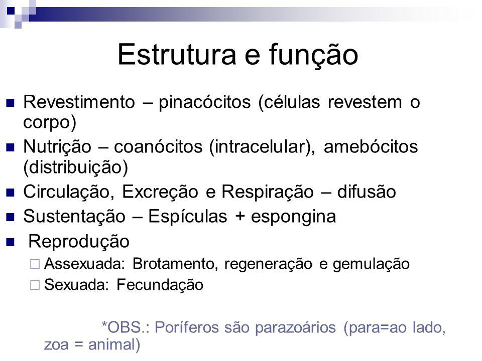 Estrutura e função Revestimento – pinacócitos (células revestem o corpo) Nutrição – coanócitos (intracelular), amebócitos (distribuição)
