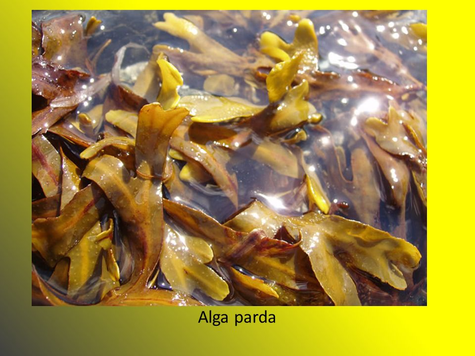 Alga parda