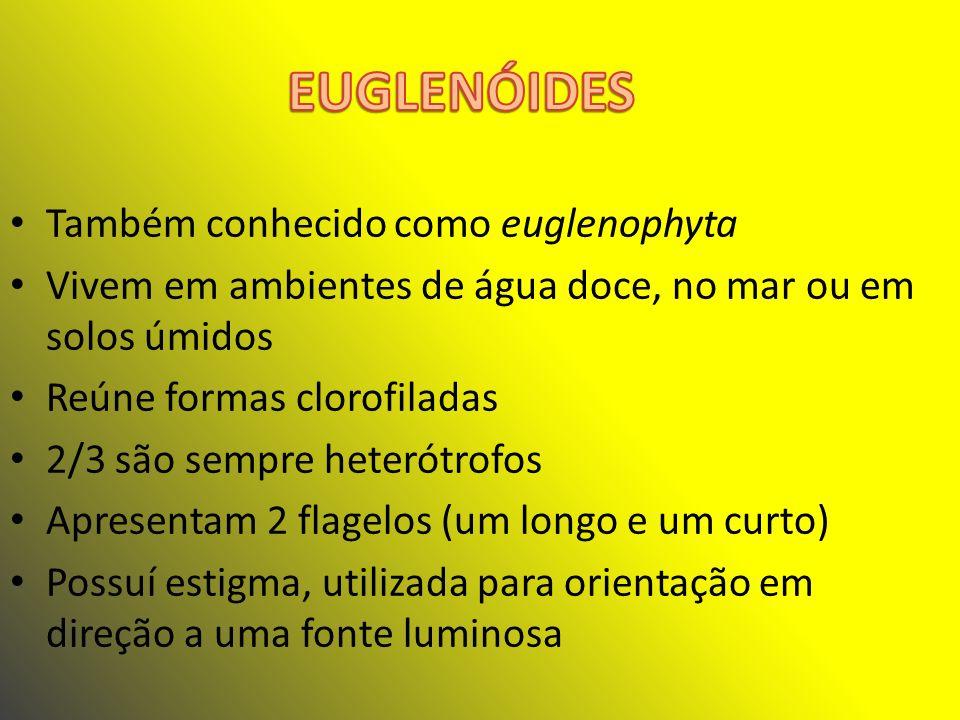 EUGLENÓIDES Também conhecido como euglenophyta
