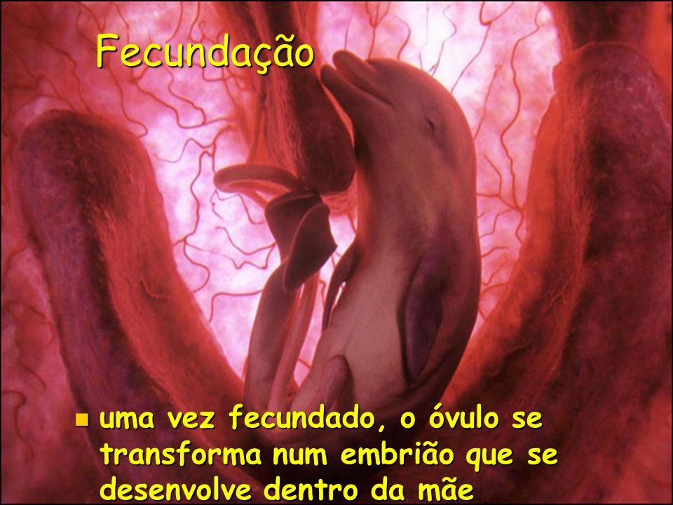 Fecundação uma vez fecundado, o óvulo se transforma num embrião que se desenvolve dentro da mãe