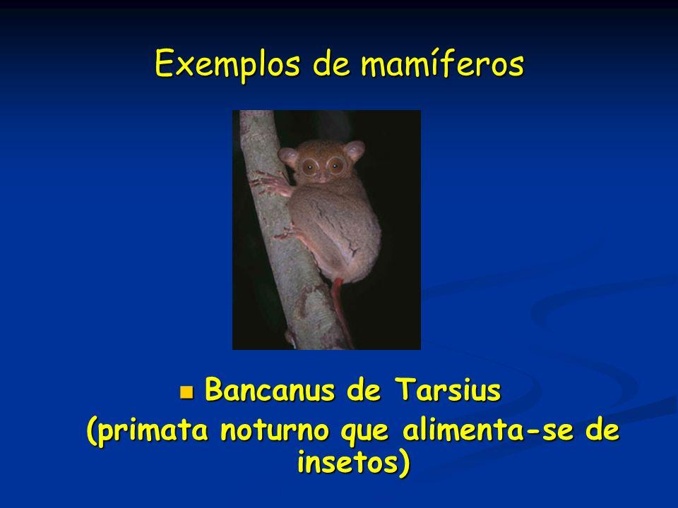 (primata noturno que alimenta-se de insetos)