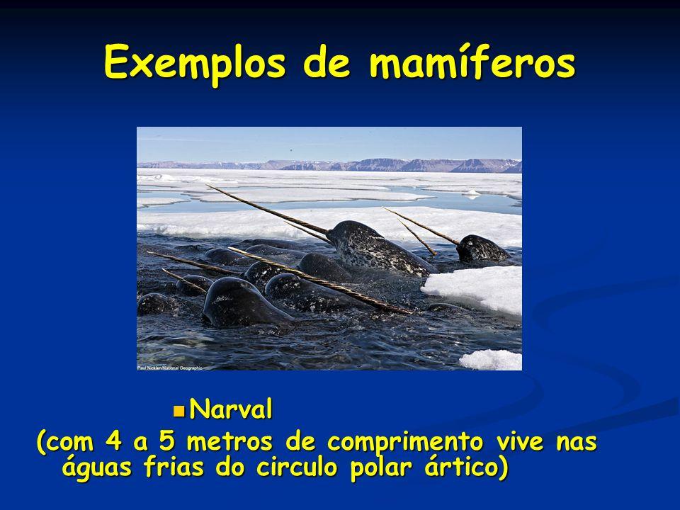 Exemplos de mamíferos Narval