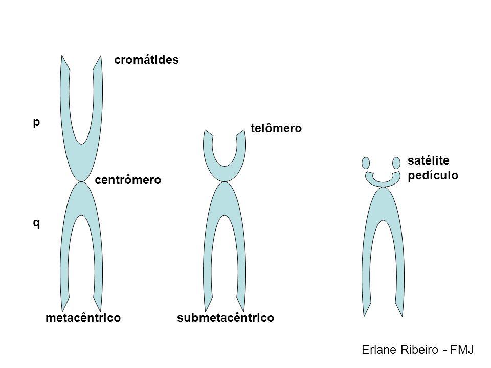 cromátides p. telômero. satélite. pedículo. centrômero.