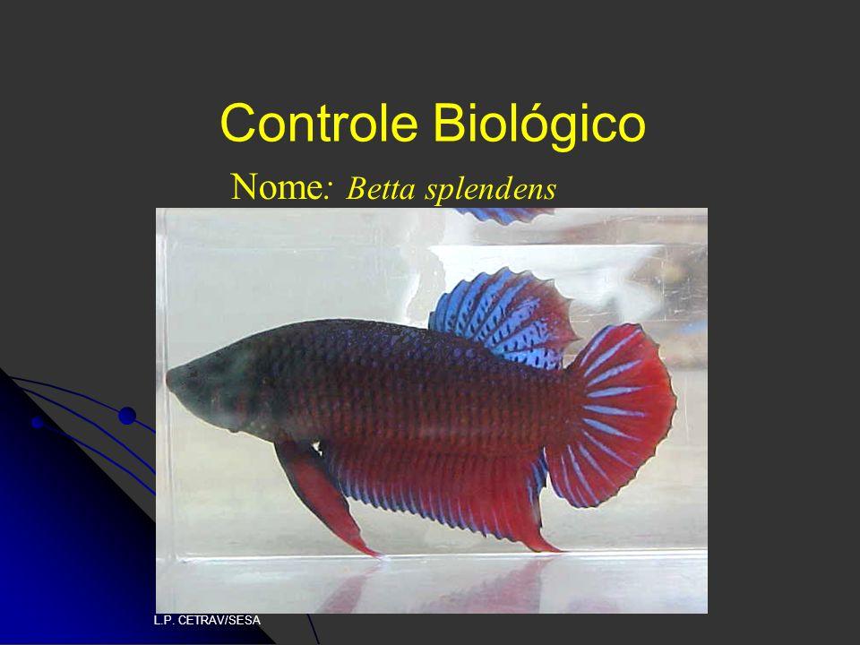 Controle Biológico Nome: Betta splendens L.P. CETRAV/SESA