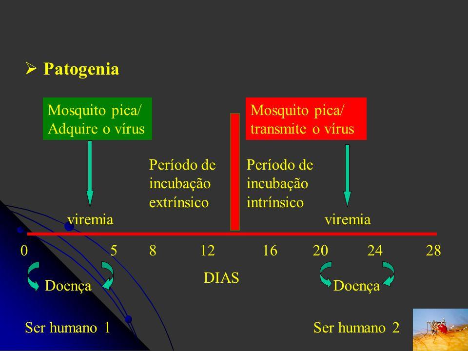 Patogenia Mosquito pica/ Adquire o vírus
