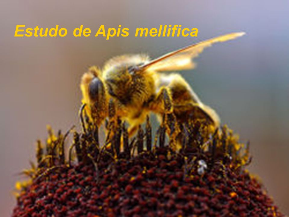 Estudo de Apis mellifica