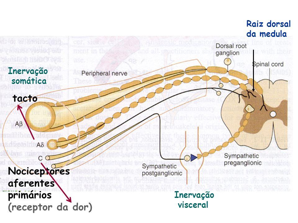 tacto Nociceptores aferentes primários (receptor da dor) Raiz dorsal
