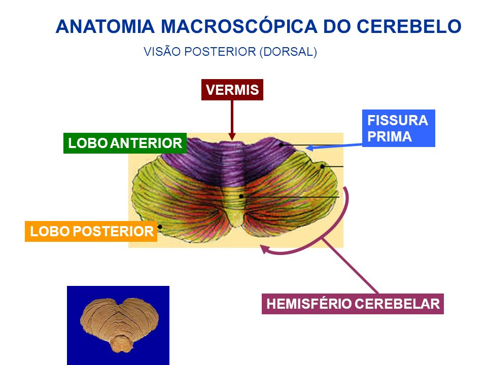 ANATOMIA MACROSCÓPICA DO CEREBELO