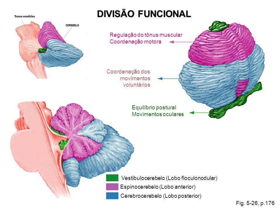 DIVISÃO FUNCIONAL Regulação do tônus muscular Coordenação motora