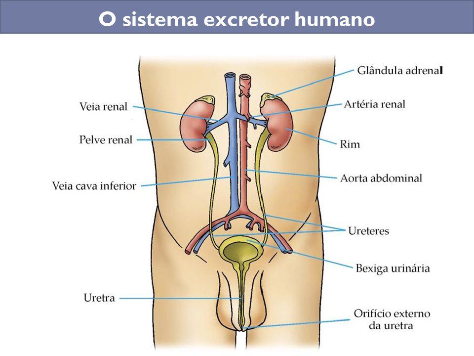 SISTEMA EXCRETOR Prof.: Gilmar. - ppt carregar