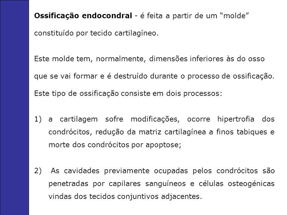 Ossificação endocondral - é feita a partir de um molde