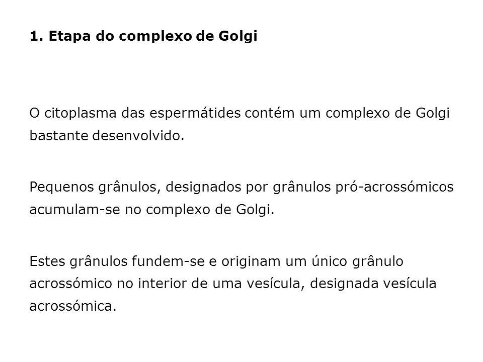 1. Etapa do complexo de Golgi