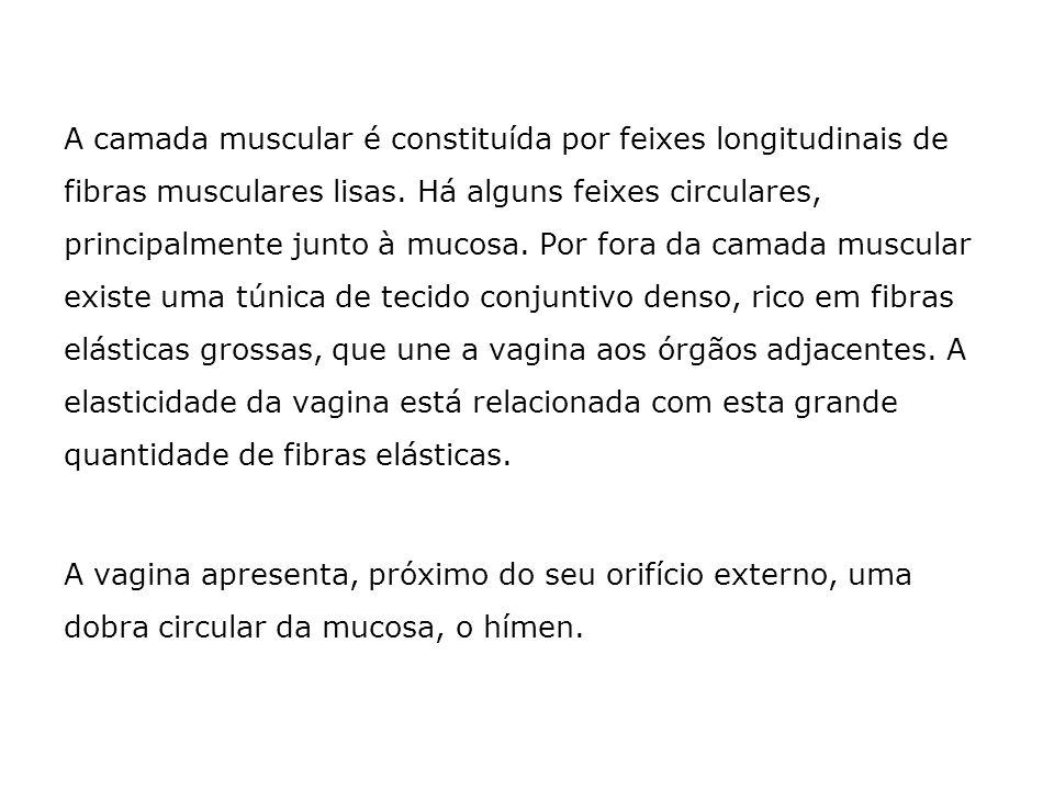 A camada muscular é constituída por feixes longitudinais de fibras musculares lisas. Há alguns feixes circulares, principalmente junto à mucosa. Por fora da camada muscular existe uma túnica de tecido conjuntivo denso, rico em fibras elásticas grossas, que une a vagina aos órgãos adjacentes. A elasticidade da vagina está relacionada com esta grande quantidade de fibras elásticas.