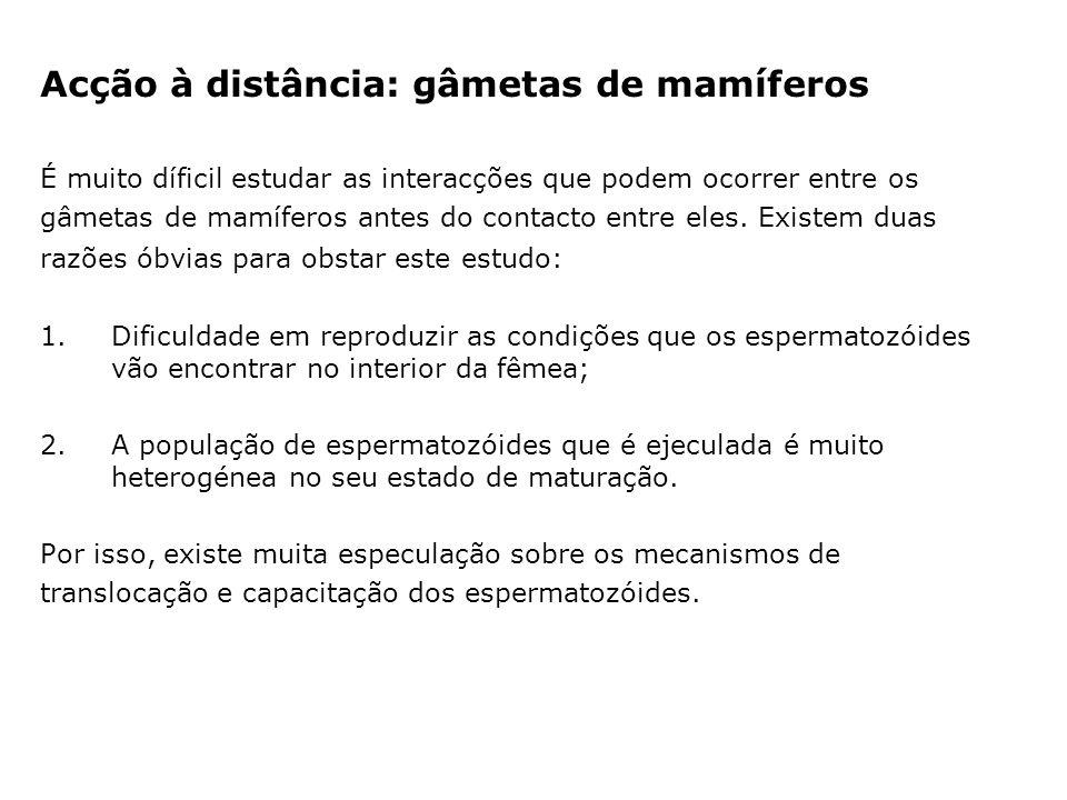 Acção à distância: gâmetas de mamíferos