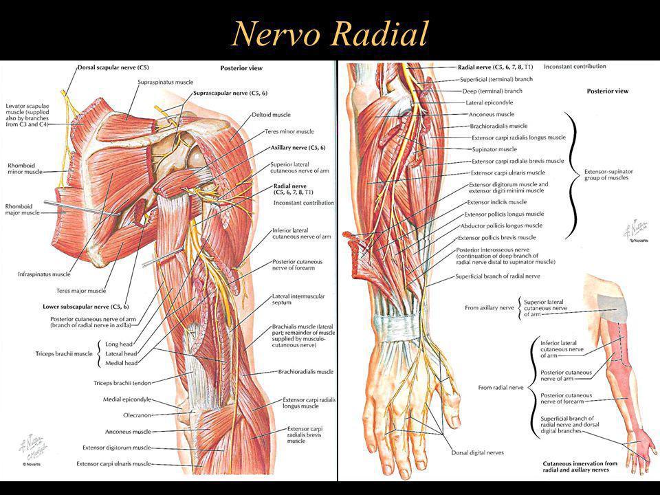 Nervo Radial