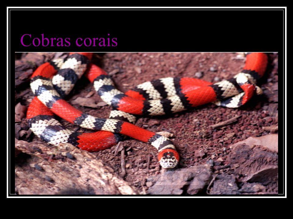 Cobras corais