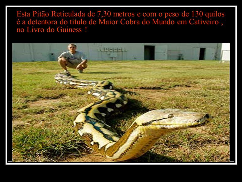 Esta Pitão Reticulada de 7,30 metros e com o peso de 130 quilos é a detentora do titulo de Maior Cobra do Mundo em Cativeiro , no Livro do Guiness !