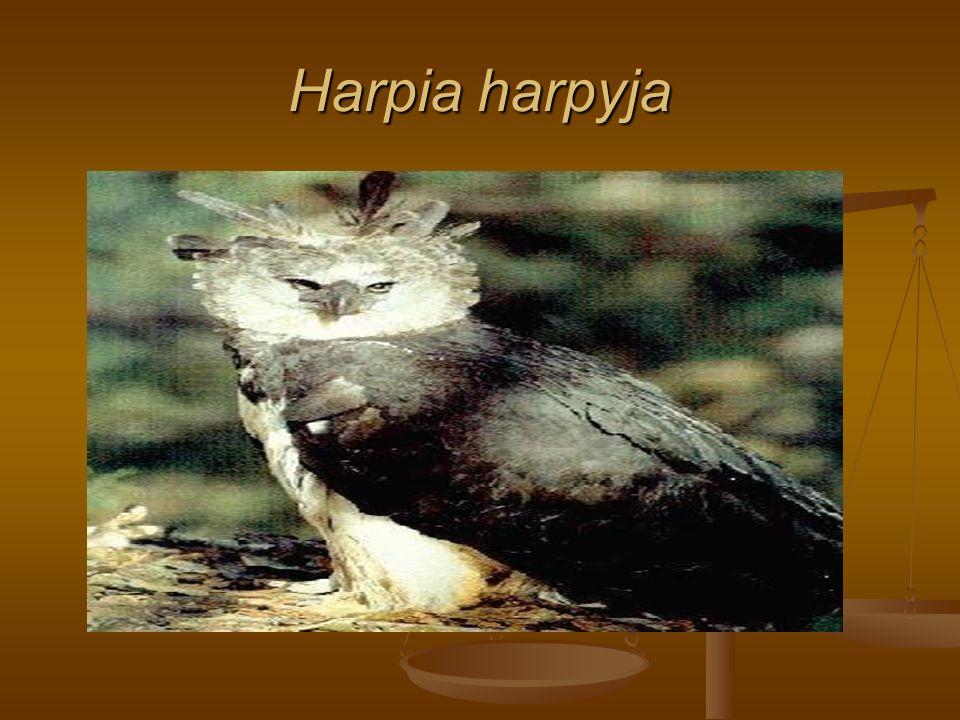 Harpia harpyja