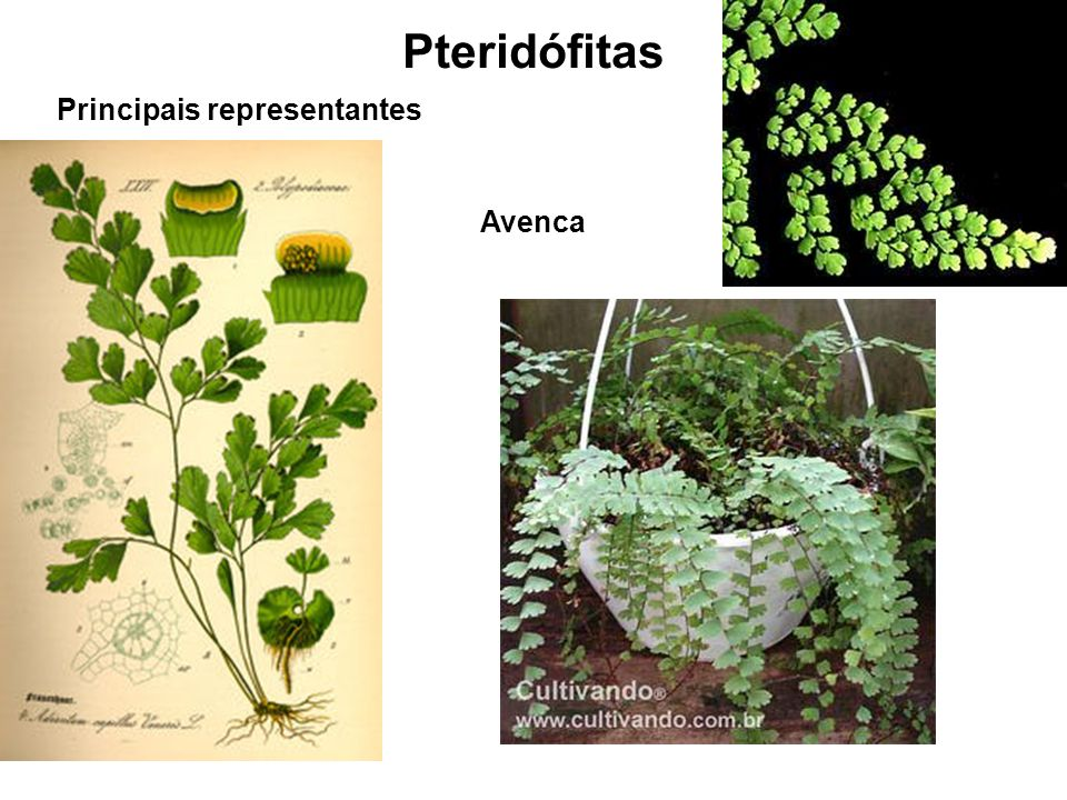 Pteridófitas Principais representantes Avenca