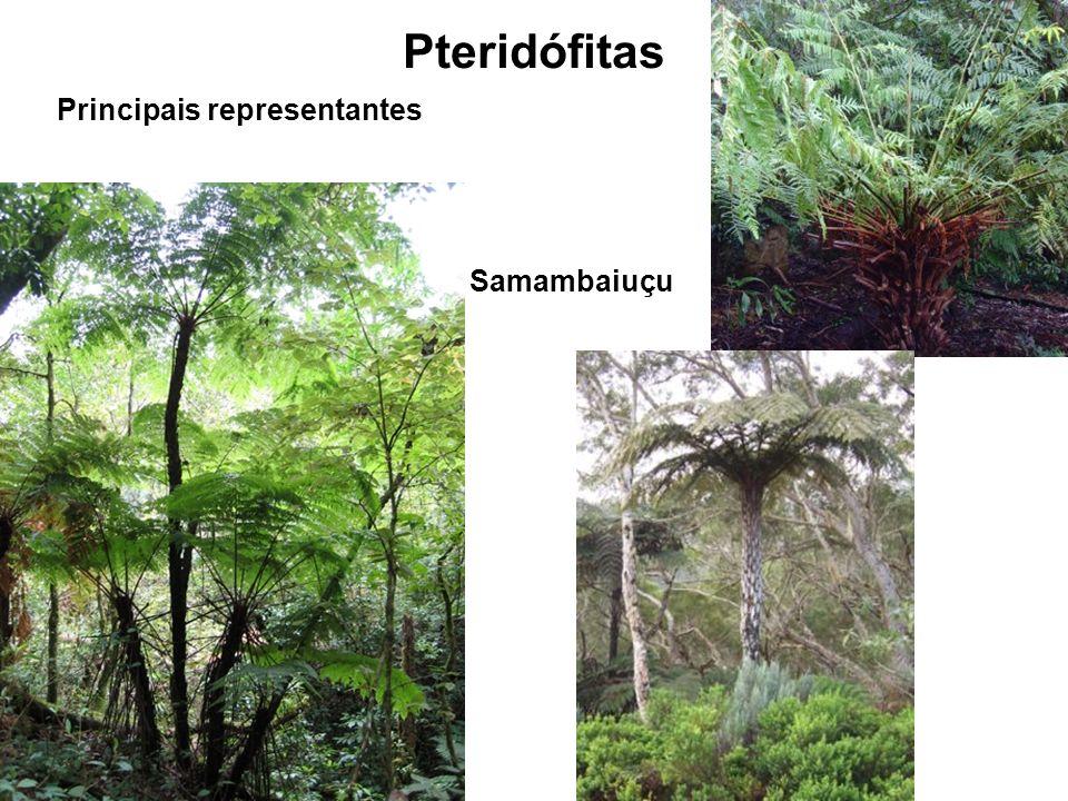 Pteridófitas Principais representantes Samambaiuçu
