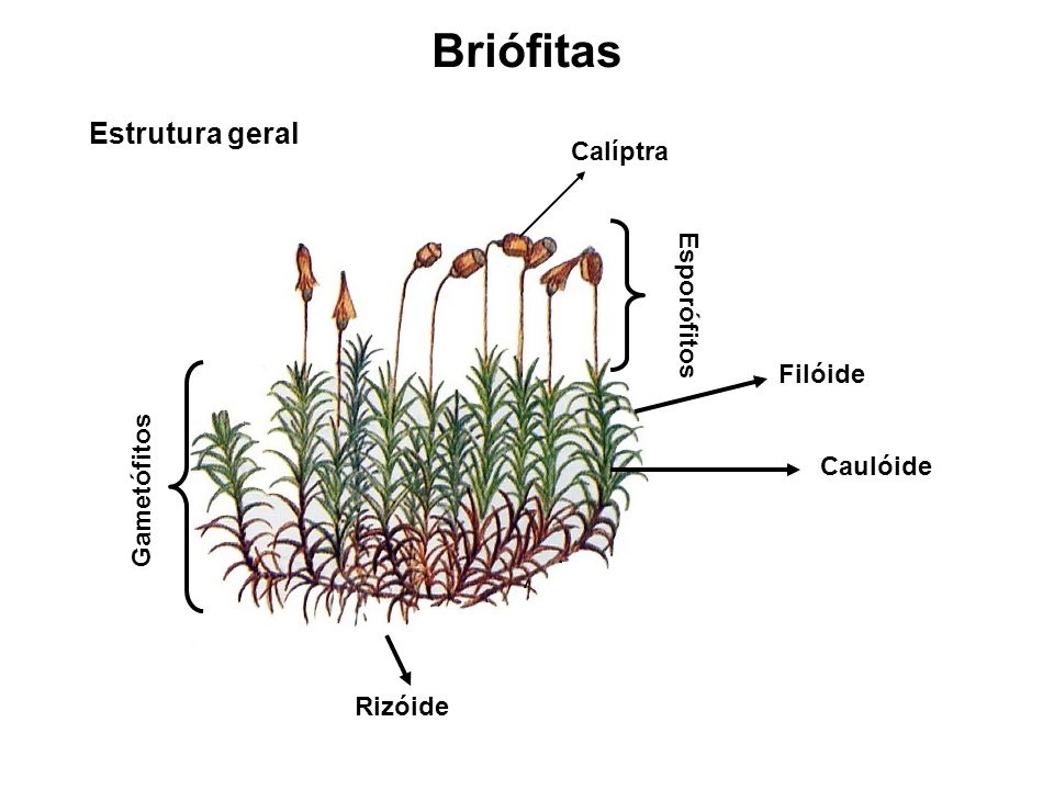 Briófitas Estrutura geral Calíptra Esporófitos Filóide Gametófitos