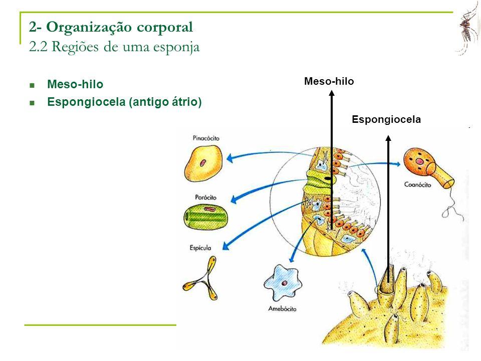 2- Organização corporal 2.2 Regiões de uma esponja