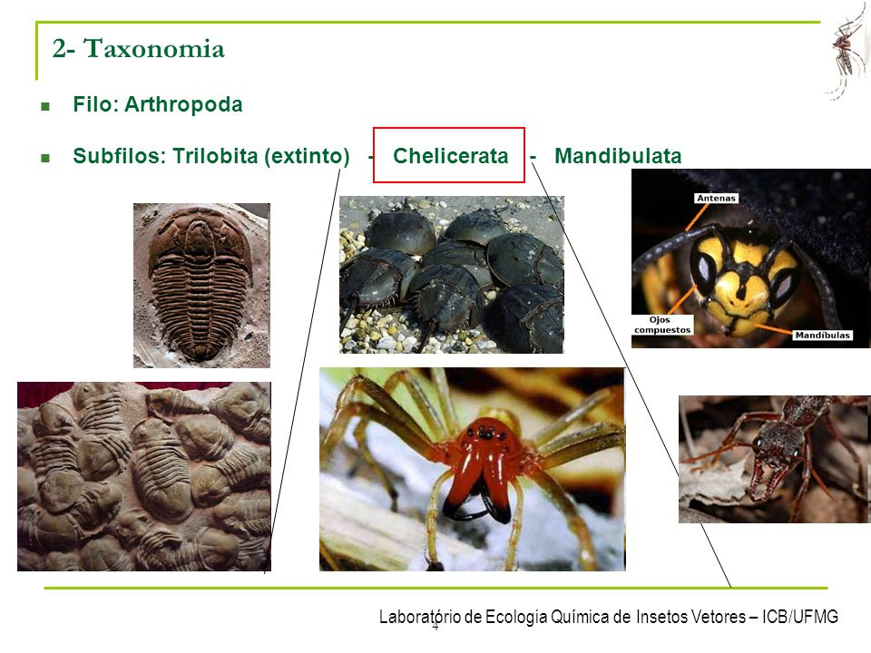 2- Taxonomia Filo: Arthropoda