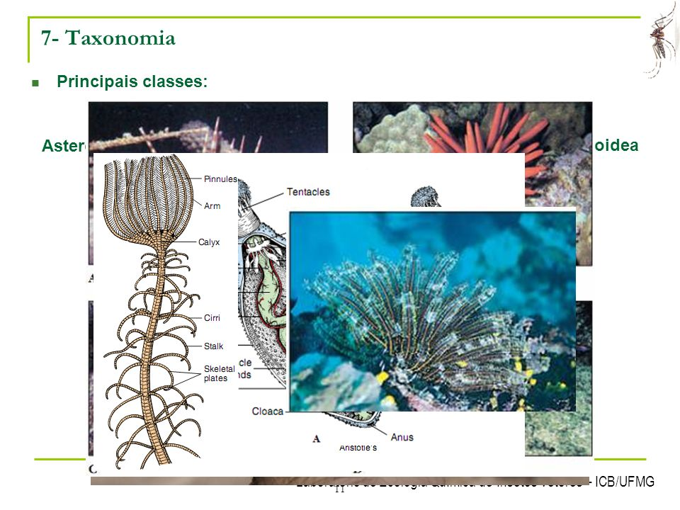 7- Taxonomia Principais classes: Asteroidea Equinoidea Ofiuroidea