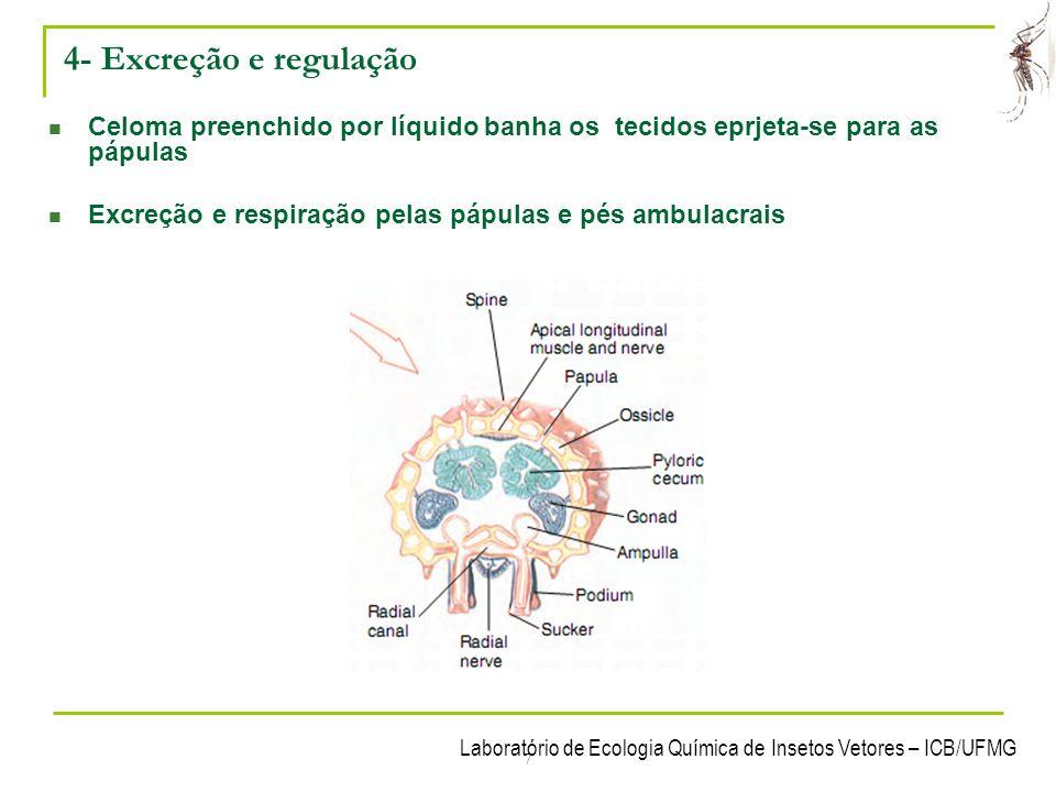 4- Excreção e regulação Celoma preenchido por líquido banha os tecidos eprjeta-se para as pápulas.