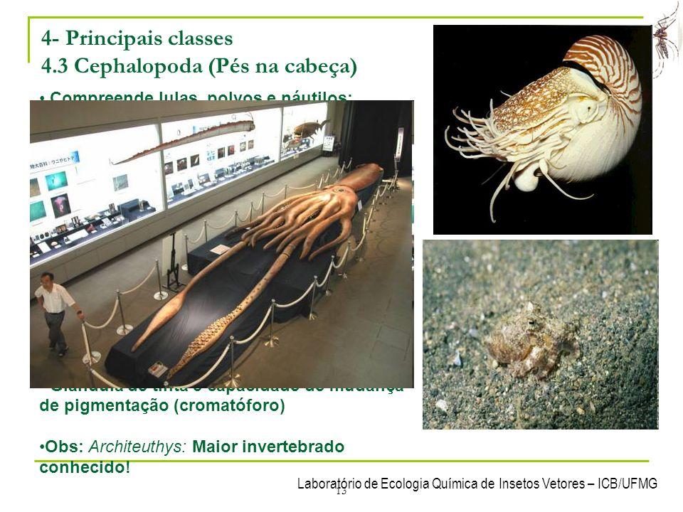 4- Principais classes 4.3 Cephalopoda (Pés na cabeça)