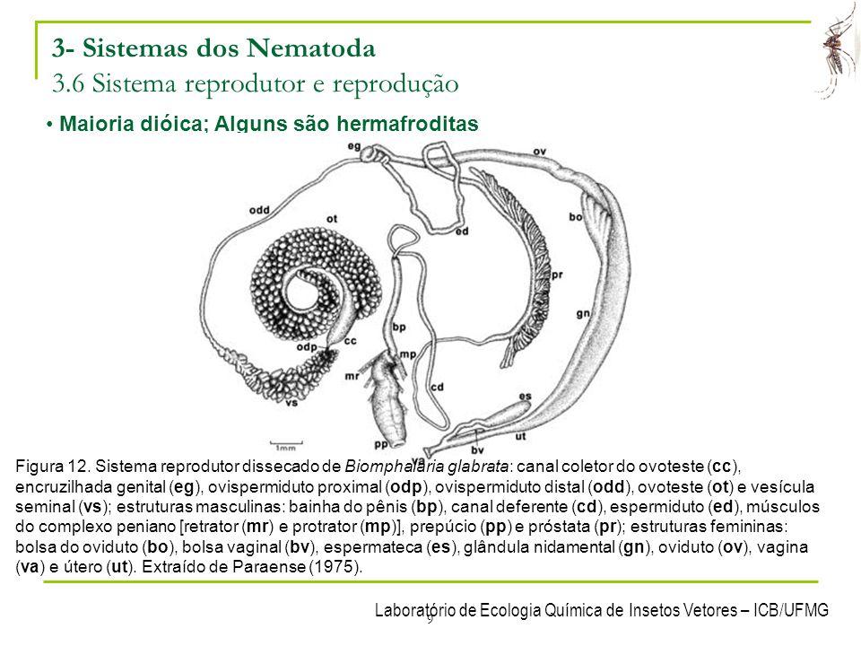 3- Sistemas dos Nematoda 3.6 Sistema reprodutor e reprodução