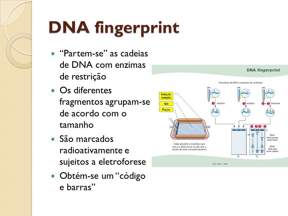 DNA fingerprint Partem-se as cadeias de DNA com enzimas de restrição