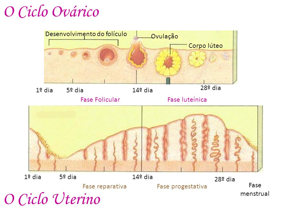 O Ciclo Ovárico O Ciclo Uterino Ovulação Desenvolvimento do folículo
