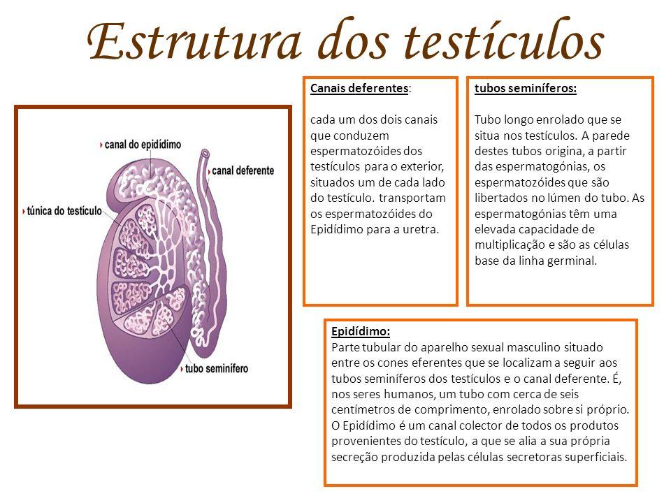 Estrutura dos testículos