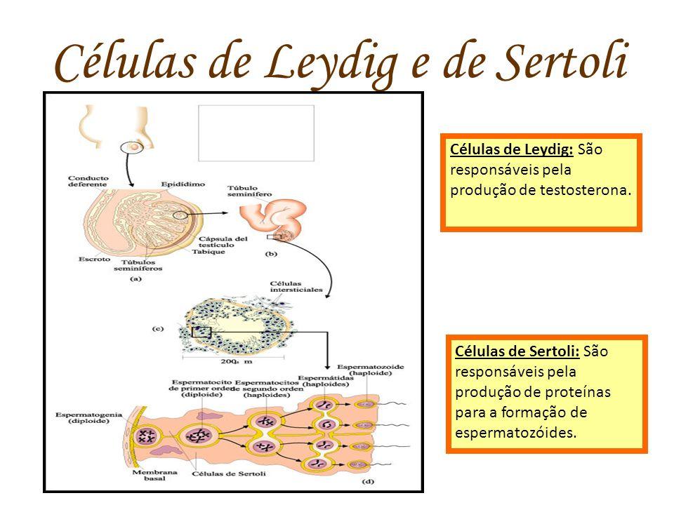 Células de Leydig e de Sertoli