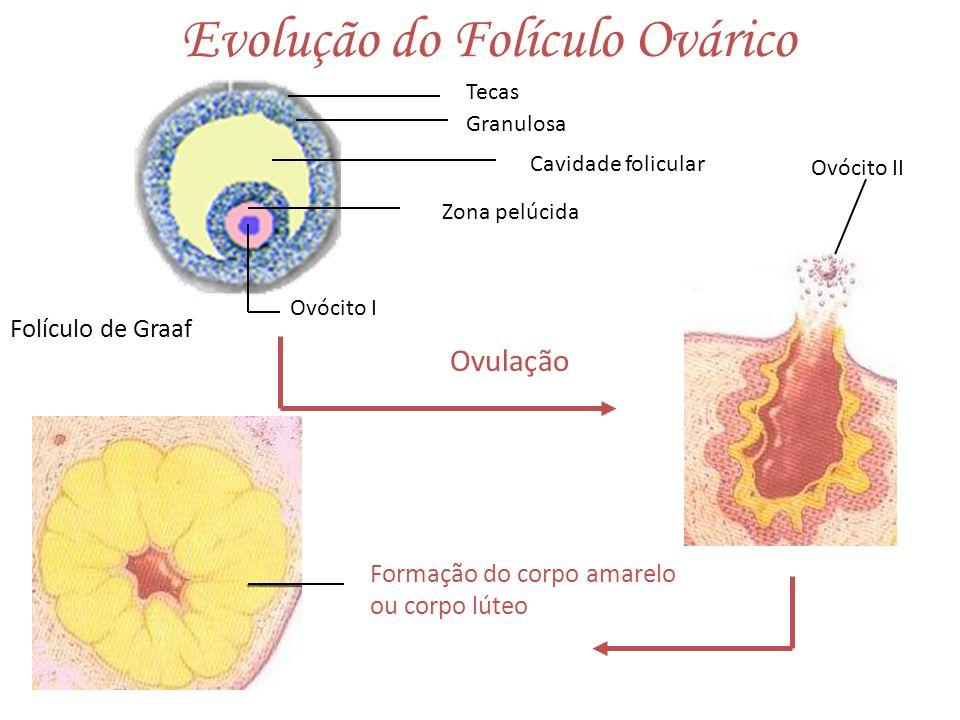 Evolução do Folículo Ovárico