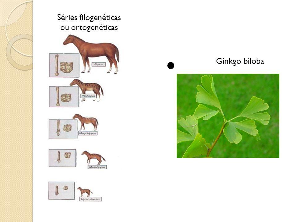 Séries filogenéticas ou ortogenéticas Ginkgo biloba