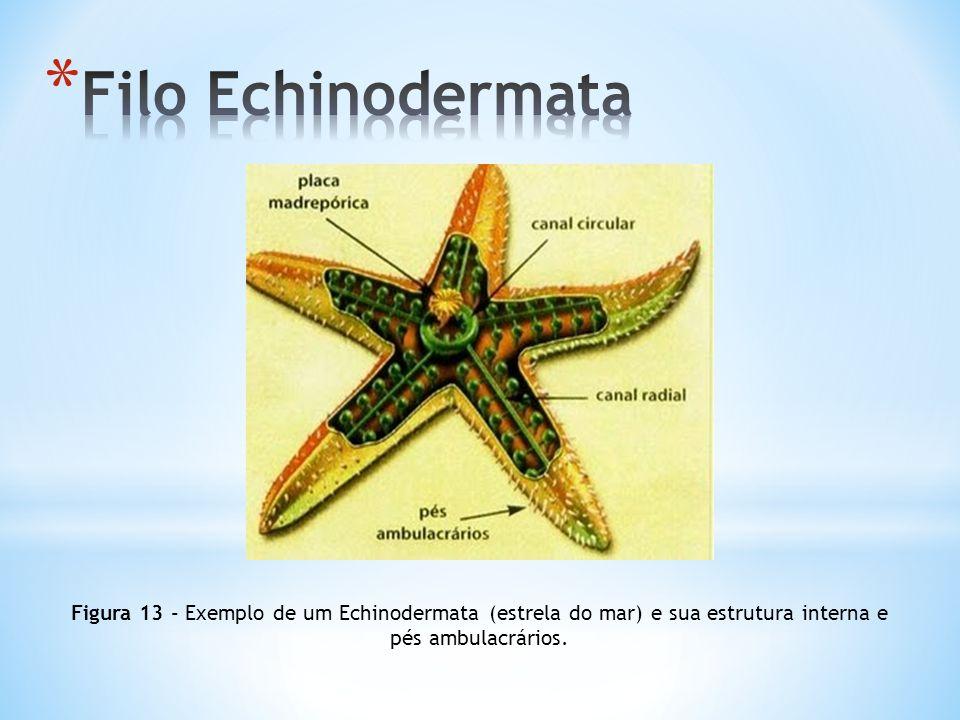 Filo Echinodermata Figura 13 - Exemplo de um Echinodermata (estrela do mar) e sua estrutura interna e pés ambulacrários.