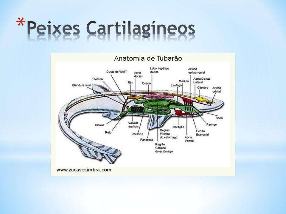 Peixes Cartilagíneos