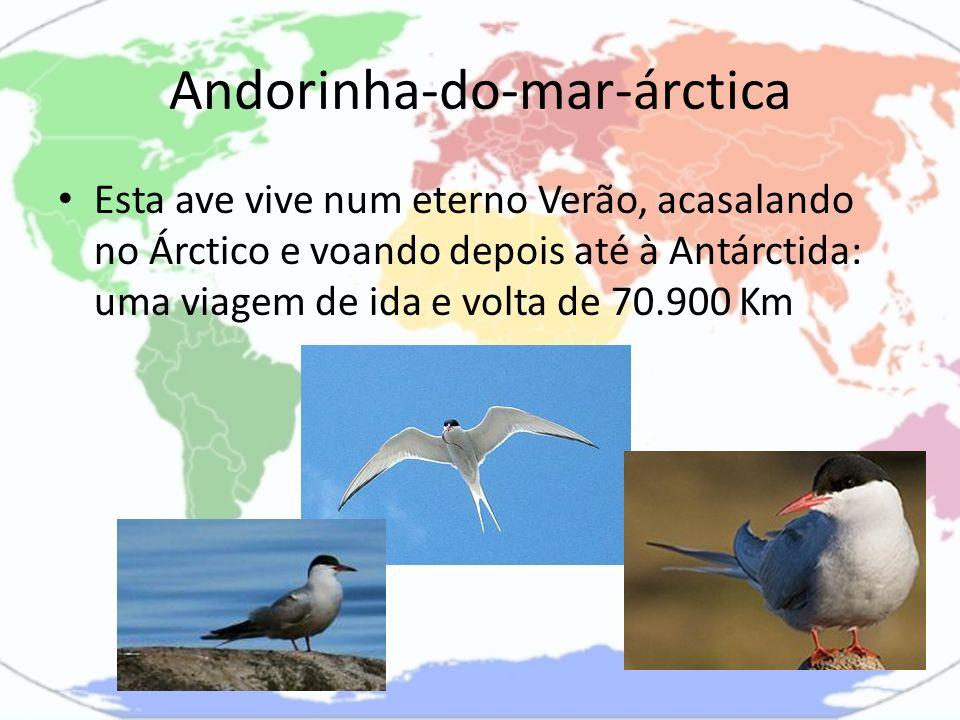 Andorinha-do-mar-árctica