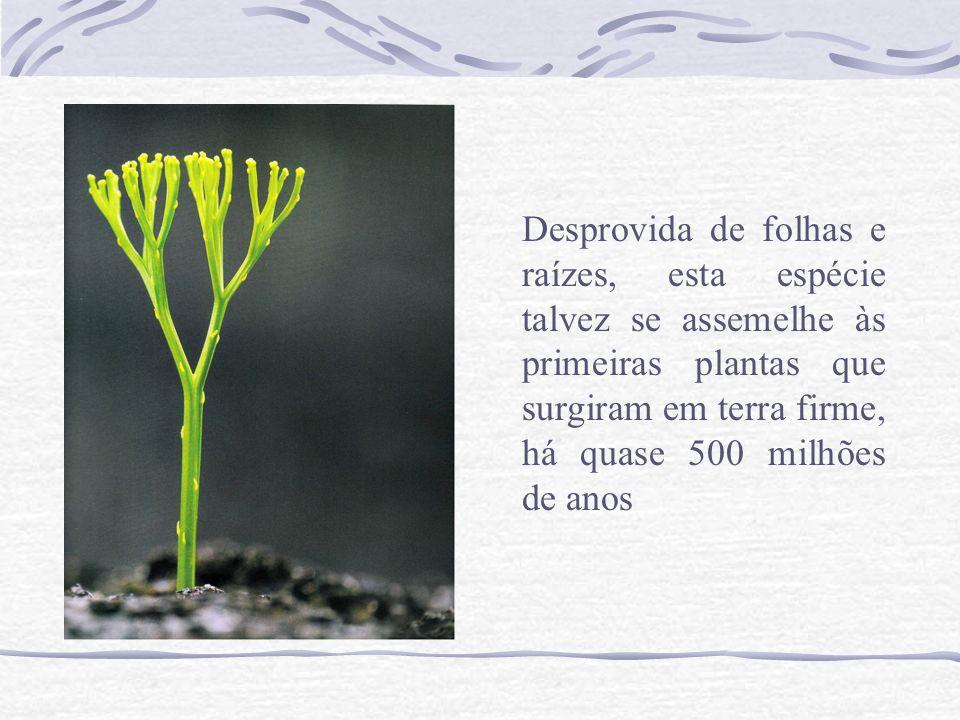 Desprovida de folhas e raízes, esta espécie talvez se assemelhe às primeiras plantas que surgiram em terra firme, há quase 500 milhões de anos