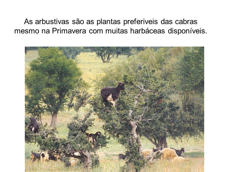 As arbustivas são as plantas preferiveis das cabras mesmo na Primavera com muitas harbáceas disponíveis.