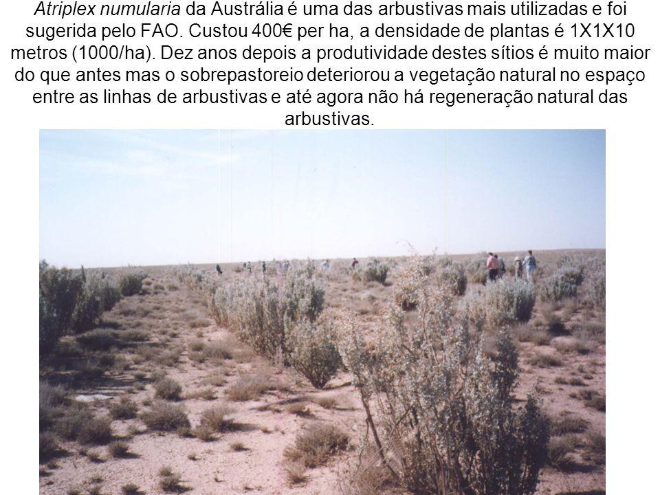Atriplex numularia da Austrália é uma das arbustivas mais utilizadas e foi sugerida pelo FAO.