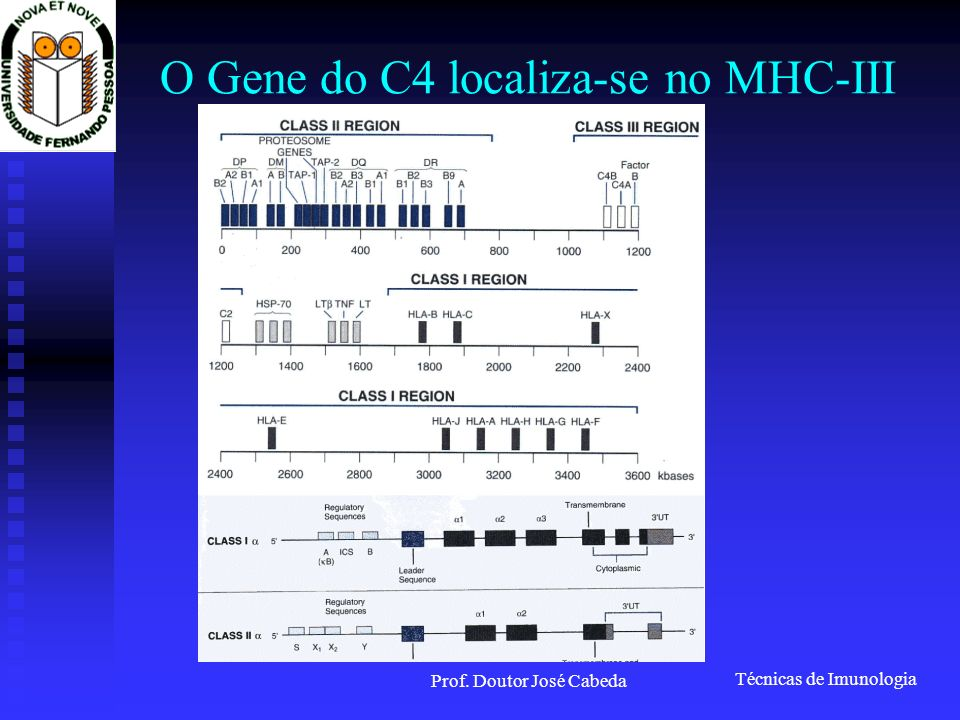 O Gene do C4 localiza-se no MHC-III