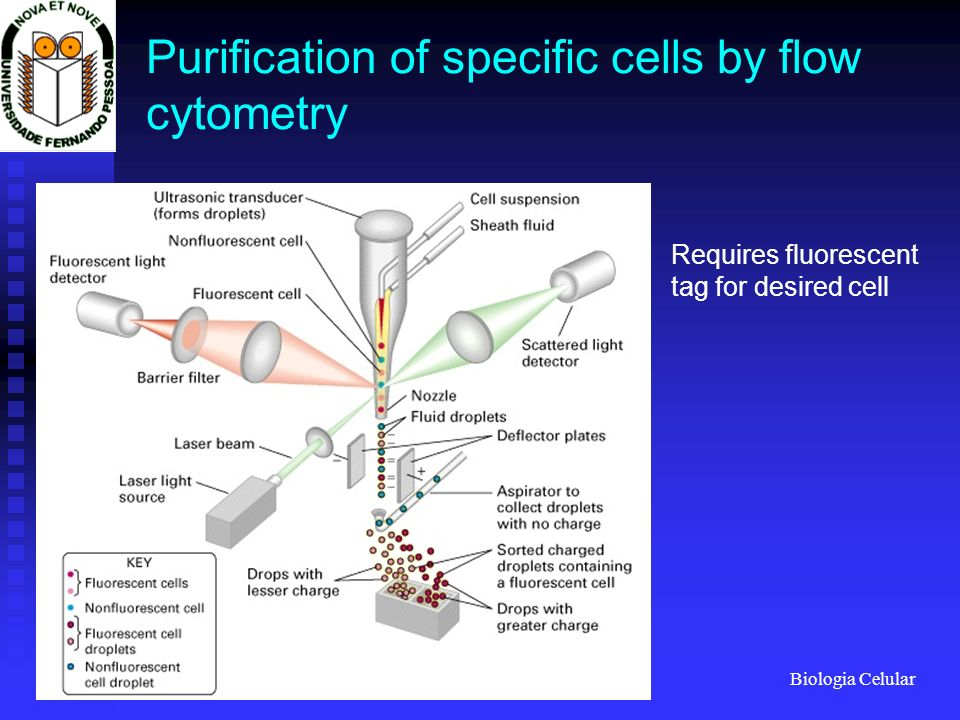 Purification of specific cells by flow cytometry